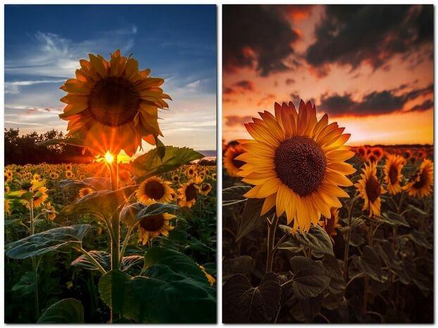 Фотографии поля с подсолнухами